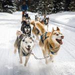 Veranstaltungen auf Usedom - Baltic Lights Hundeschlittenrennen